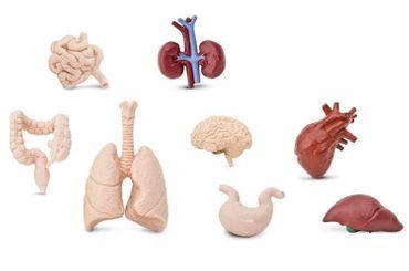 7x Organe des Menschen Set Miniblings Kunststoff Leben Medizin Anatomie Arzt – Bild 1