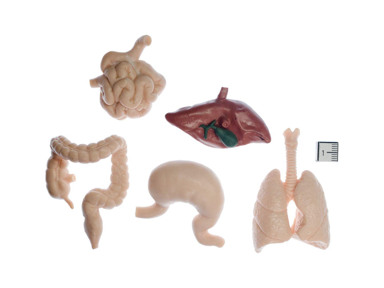 50x Organe des Menschen Set Miniblings je 10 Magen Lunge Dickdarm ...