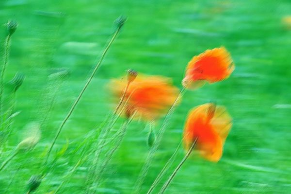Poppies in the wind - Fineart Photography by David Freeman