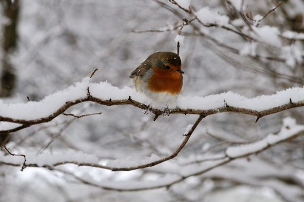 Robin in the snow - Fineart Photography by David Freeman