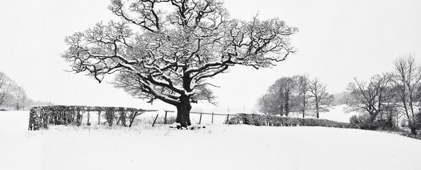 Oak Tree in the Snow - Fineart Photography by David Freeman