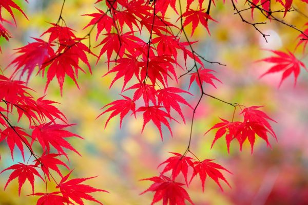 Autumn Maple Leaves - Fineart Photography by David Freeman