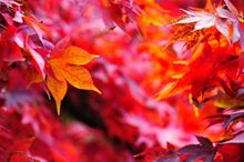 Autumn Maple Leaves - Fineart Photography by David Freeman 001
