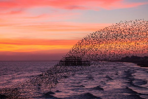 Starlings at West Pier II by Max Langran ( Starlings over West Pier Brighton) 2015