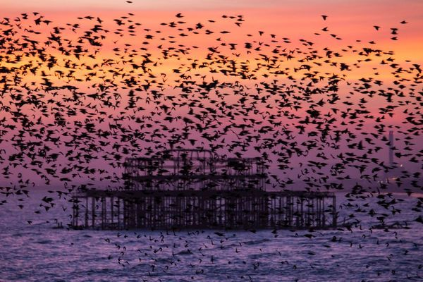 Starlings at West Pier I by Max Langran ( Starlings over West Pier Brighton) 2015
