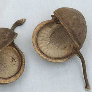 5 Buddha Nuts natur Buddhanut Nuß Exoten Trockenblumen Allerheiligen