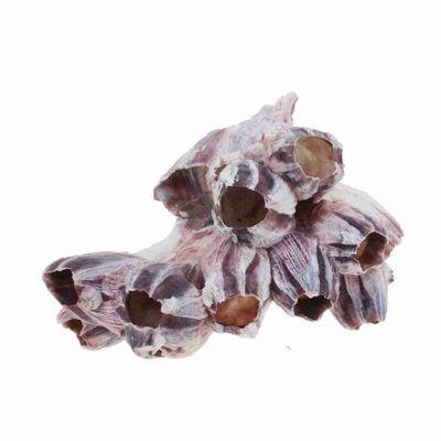 Seepocke ca D12-15cm Barnacle Koralle Deko Aquarium Muschel Maritim Belanidae