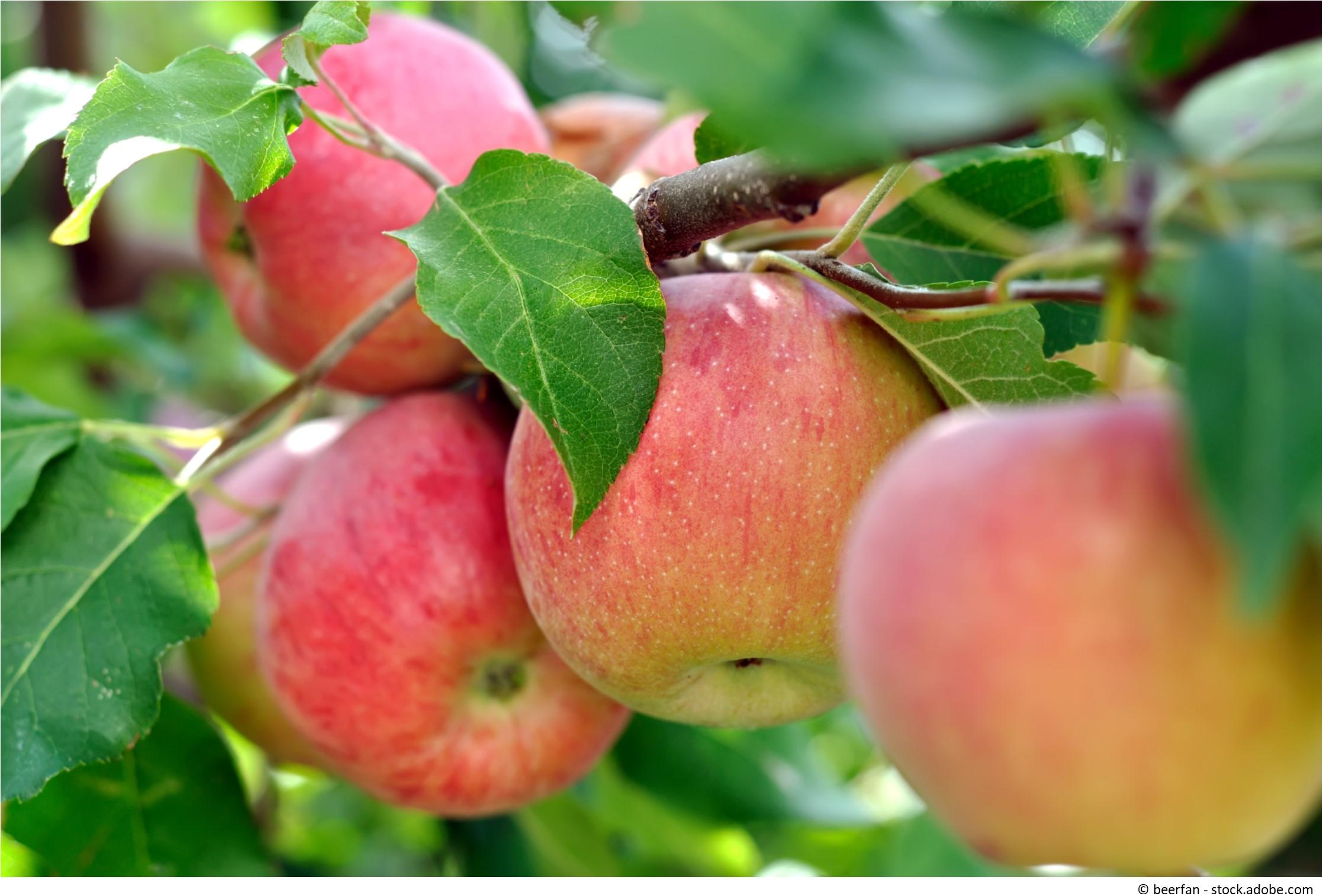 äpfel Erntezeit