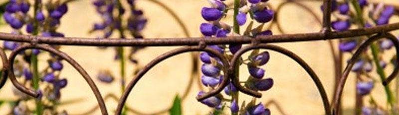 Nahaufnahme eines Rankgitters mit Blüten