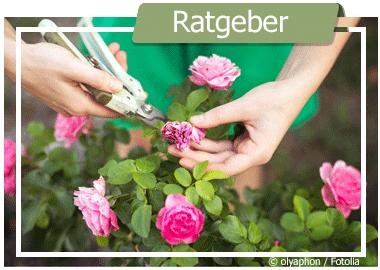 Rosenbogen auf den Frühling vorbereiten