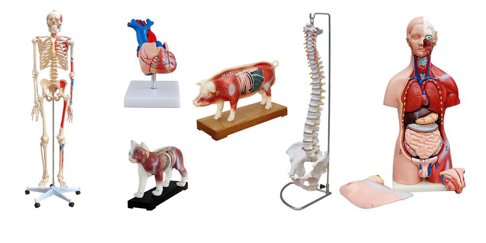 Medizinische Modelle