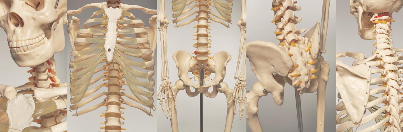 Skelette und Skelettteile