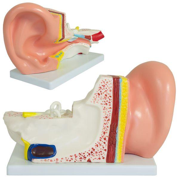 Menschliches Ohr,  3fach vergrössertes Modell von MedMod – Bild 2