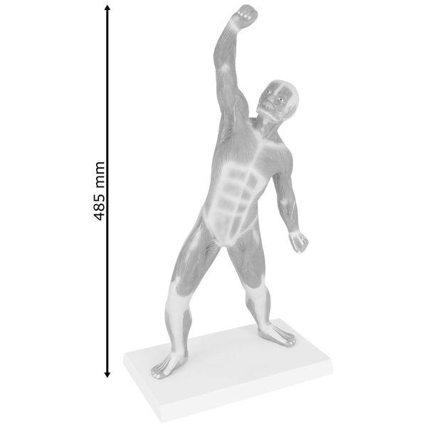 Muskel Torso Anatomie Modell Muskelfigur Muskeldarstellung 50 cm Medmod – Bild 3