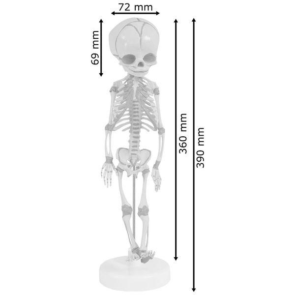 Fötus Skelett Modell Anatomisches Menschliches Modell 36 cm MedMod – Bild 3