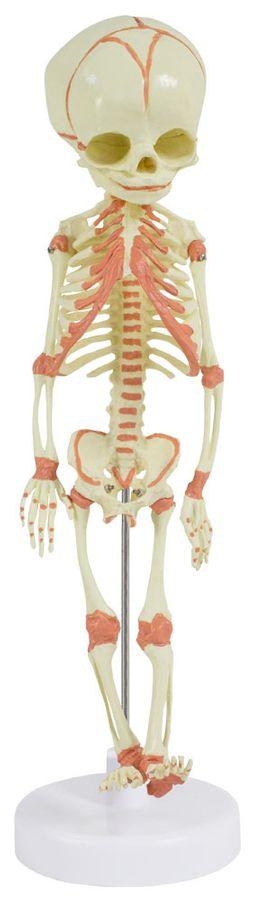 Fötus Skelett Modell Anatomisches Menschliches Modell 36 cm MedMod