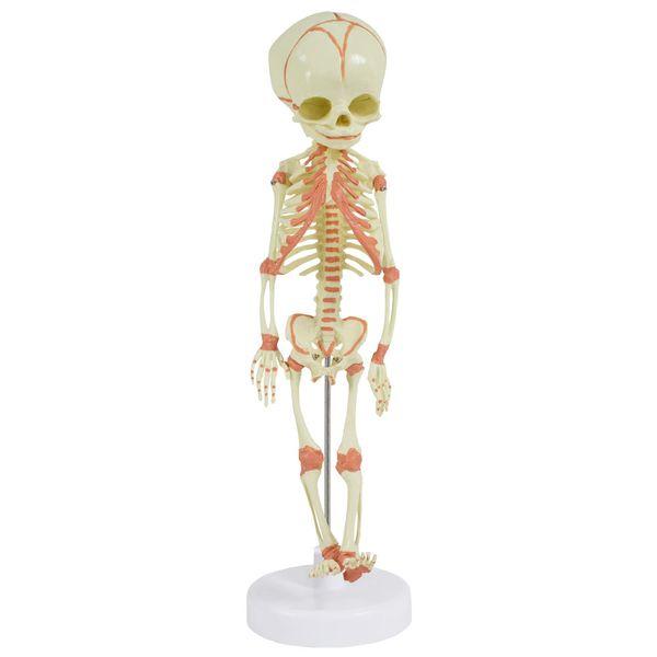 Fötus Skelett Modell Anatomisches Menschliches Modell 36 cm MedMod – Bild 2