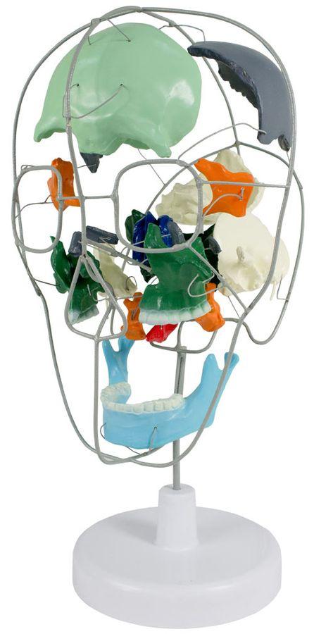 Didaktik Beauchene Skull Anatomie Modell Explodierter Schädel Schädelmodell Skelett MedMod – Bild 1