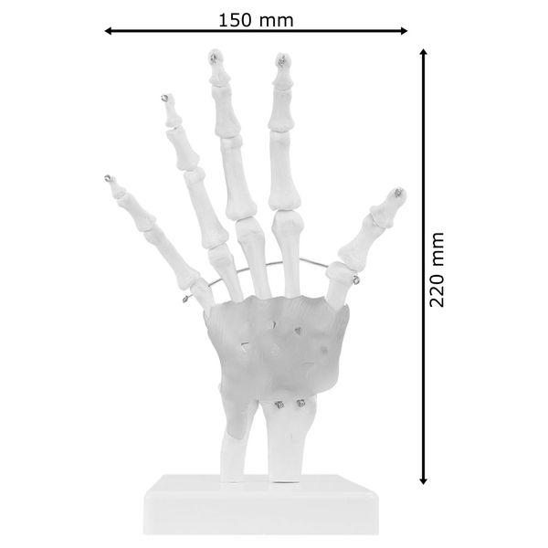 Hand Handmodell Anatomie Modell Handgelenk Anatomisches Menschliches Modell MedMod – Bild 3