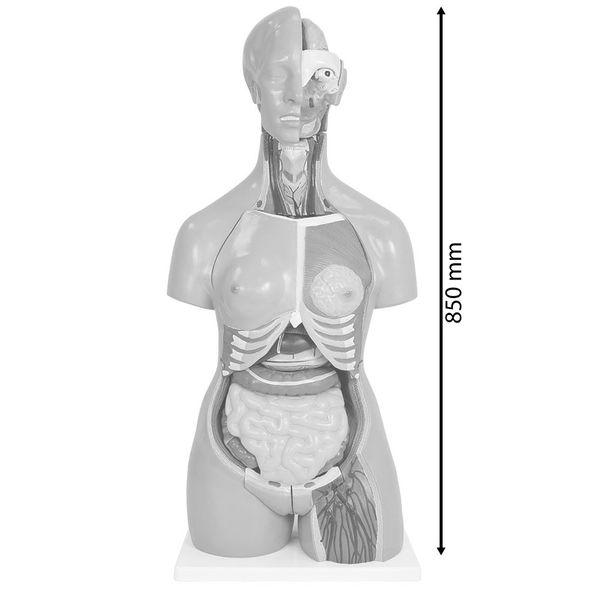 Anatomiemodell Frau Mann Medizinisches Anatomie Modell Torso 85 cm Lebensgroß 33 Teile MedMod  – Bild 12