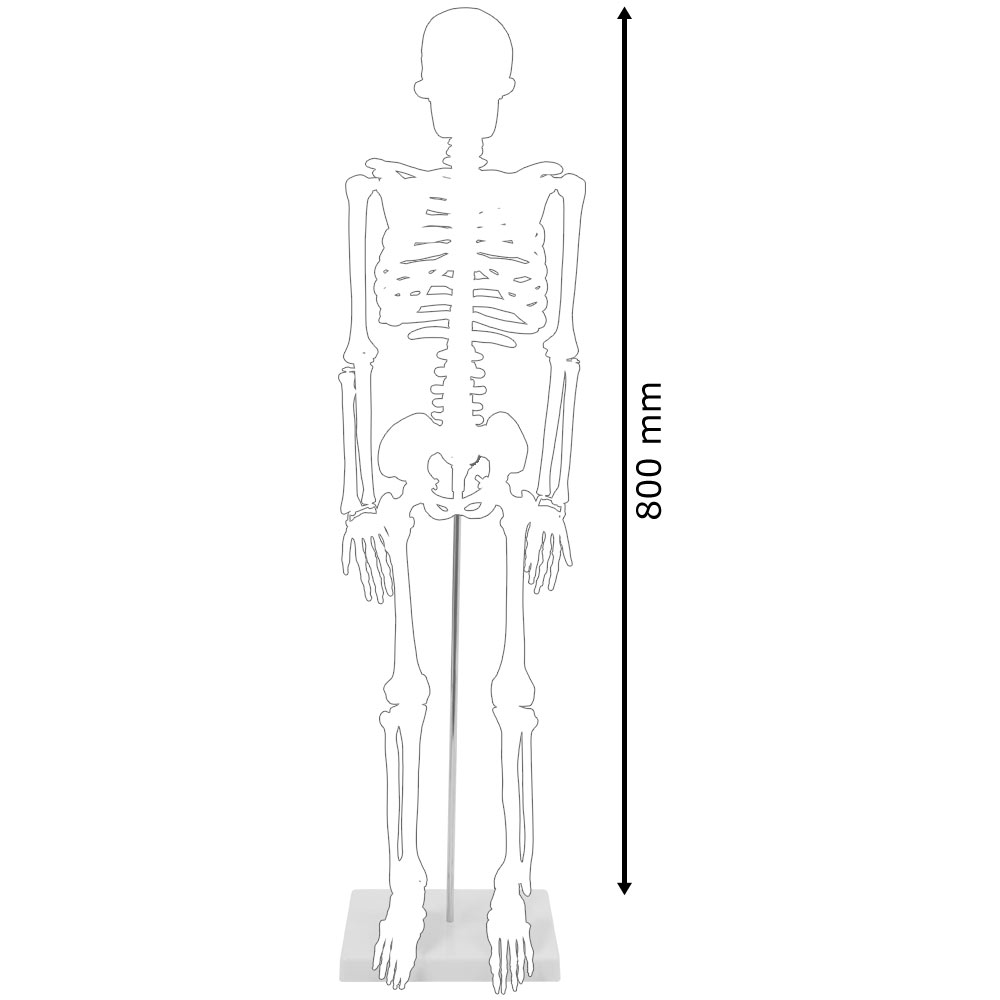Menschliches Skelett Lebensgroß Knochen Anatomie inkl. Ständer 180 ...