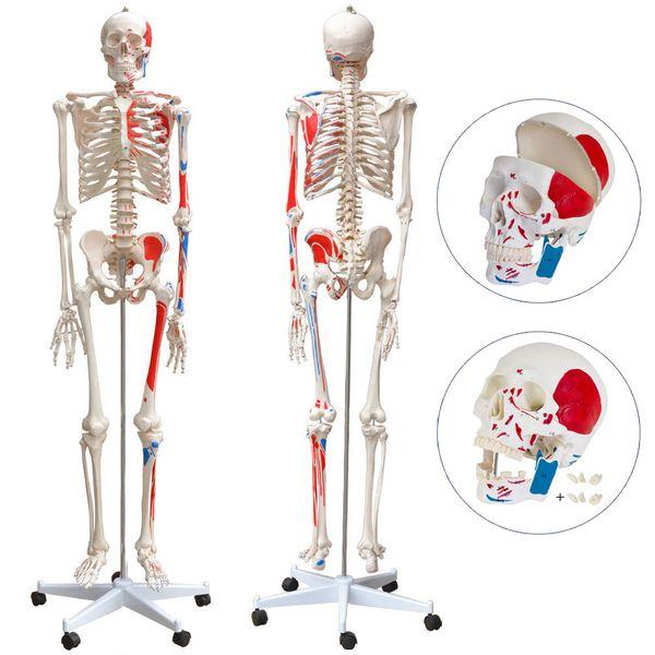 Menschliches Skelett Lebensgroß Knochen Anatomie inkl. Ständer 180 cm 80 cm MedMod – Bild 7