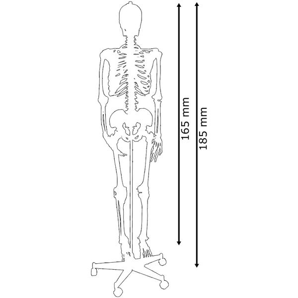 Menschliches Skelett Lebensgroß Knochen Anatomie inkl. Ständer 180 cm 80 cm MedMod – Bild 2