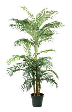 Areca / Golden Cane Palm, 190cm