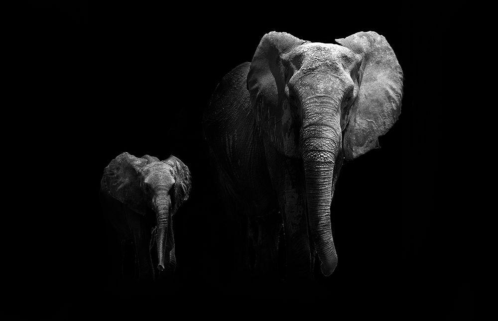 Fototapete Elefanten Schwarz Weiß