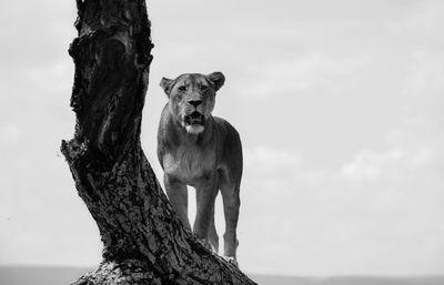 Fototapete Löwin auf Baum  – Bild 6
