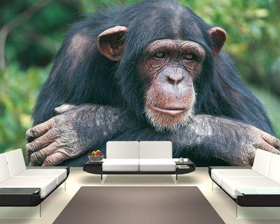 Fototapete Schimpanse  – Bild 1
