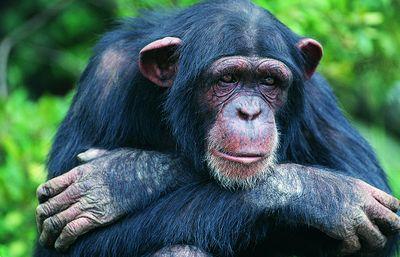 Fototapete Schimpanse  – Bild 2