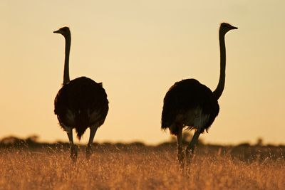 Fototapete Strauß - Kalahari Wüste in Südafrika  – Bild 2