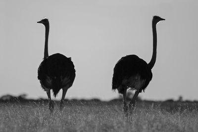Fototapete Strauß - Kalahari Wüste in Südafrika  – Bild 6