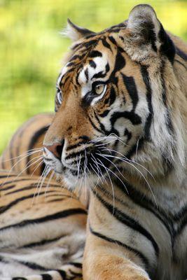 Fototapete Sumatra Tiger  – Bild 2