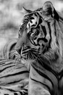 Fototapete Sumatra Tiger  – Bild 6