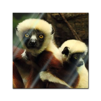 Glasbild - Big Eyes - Indri Lemur – Bild 1
