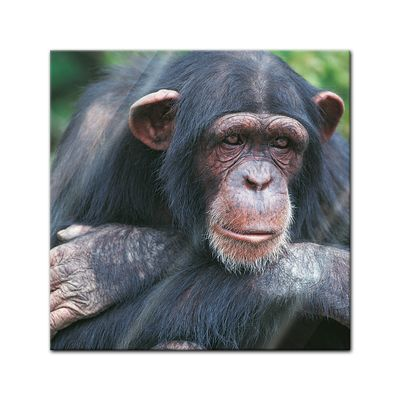 Glasbild - Schimpanse – Bild 1