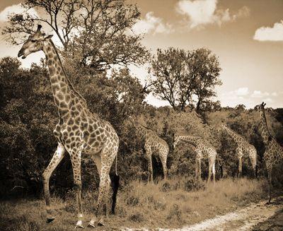 Fototapete - Giraffen Südafrika – Bild 4
