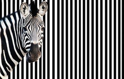 Fototapete - Zebra vor einem gestreiften Hintergrund – Bild 2