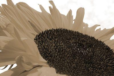 Fototapete - Sonnenblume – Bild 6