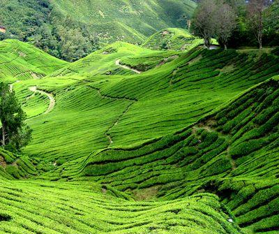 Fototapete - Teeplantage in Malaysia – Bild 2