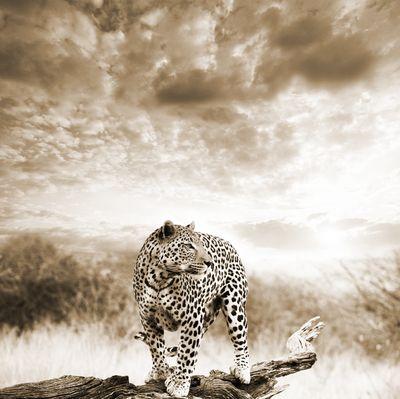 Fototapete - Leopard auf einem Ast – Bild 4