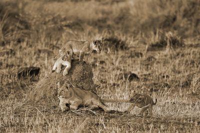 Fototapete - Löwenkinder – Bild 4