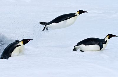 Fototapete - Pinguin II – Bild 2