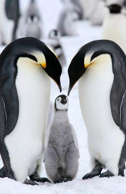 Fototapete - Pinguinfamilie – Bild 2
