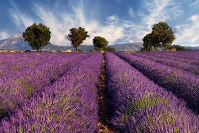 Fototapete - Lavendelfeld Provence - Frankreich – Bild 2