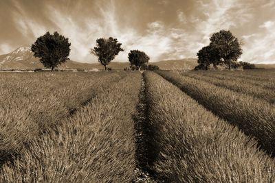 Fototapete - Lavendelfeld Provence - Frankreich – Bild 4