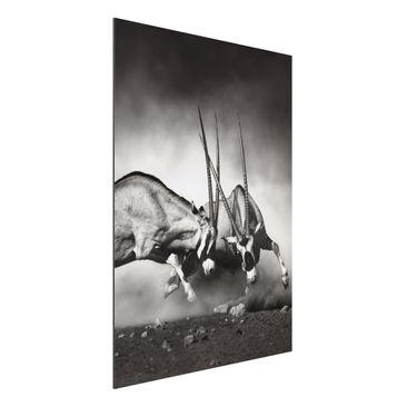 Immagine del prodotto Stampa su alluminio - Feral Fight - Verticale 4:3