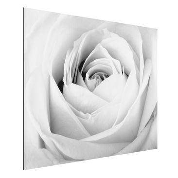 Produktfoto Aluminium Print - Wandbild Close Up Rose...